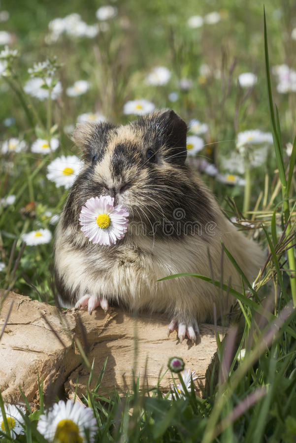 Guinea pig eating a flower stock photo