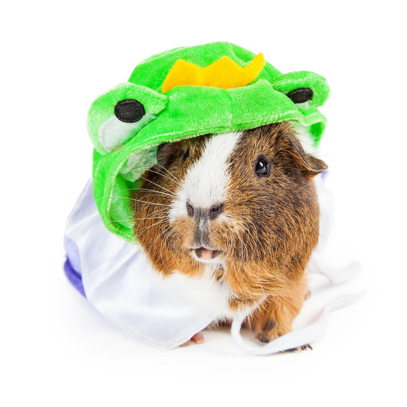 Guinea Pig in Frog Prince Costume. Cute pet guinea pig wearing a funny Frog Prince costume royalty free stock photos