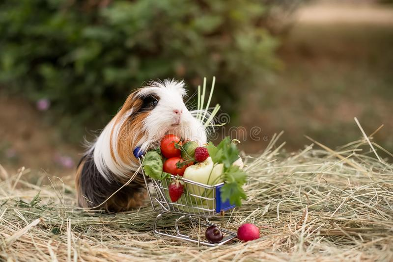 Guinea pig and fruits royalty free stock images