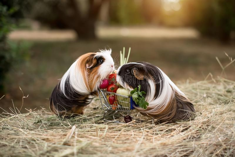 Guinea pig and fruits stock images