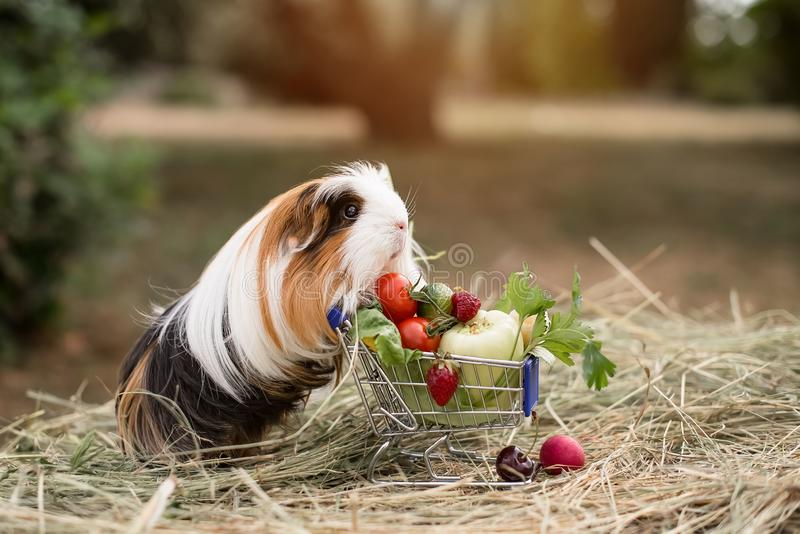 Guinea pig and fruits stock image
