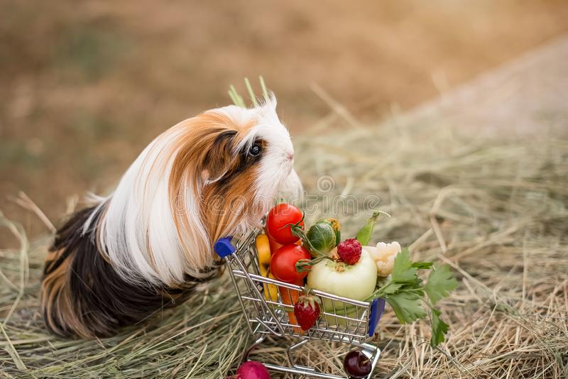 Guinea pig and fruits stock photography