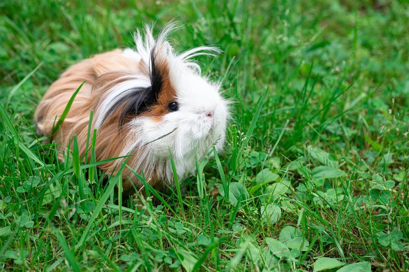 Guinea pig on the grass. Furry guinea pig in the grass stock photo