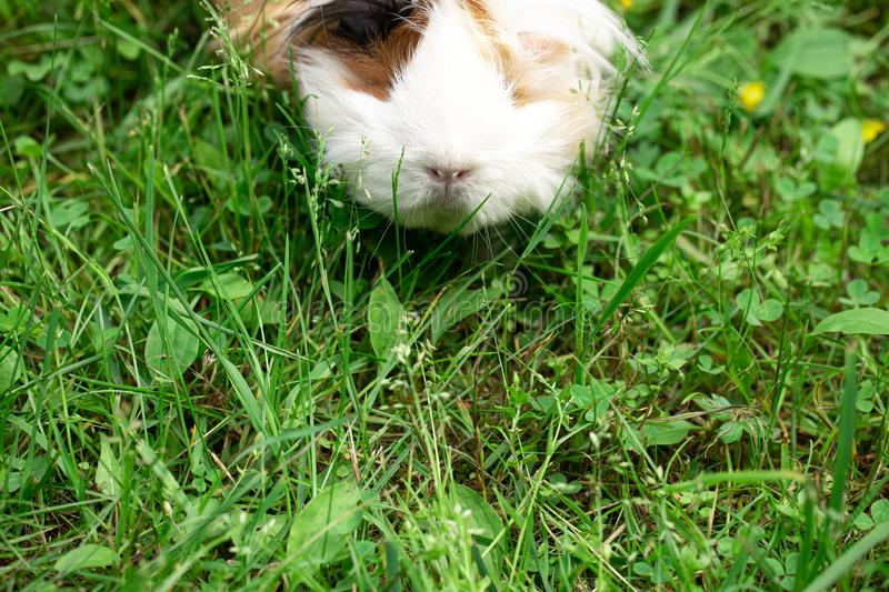 Guinea pig on the grass. Hairy guinea pig on green fresh lawn royalty free stock photo
