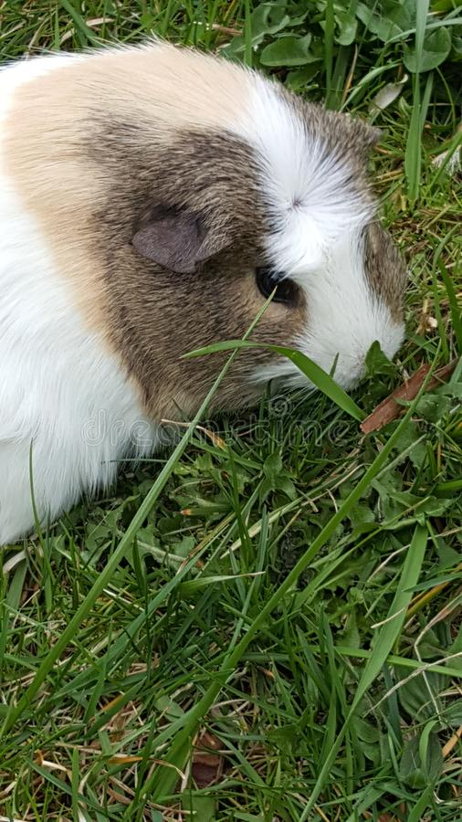 Guinea pig eating grass stock images