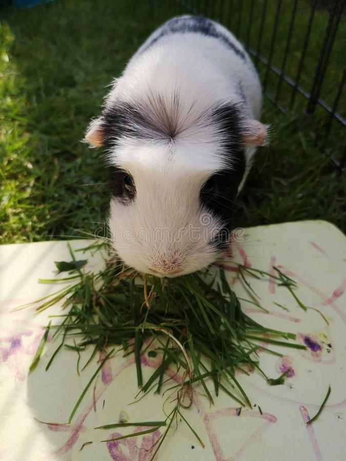 Guinea pig. She likes to eat grass. stock photography