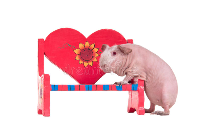 Guinea pig and a heart shaped bench. Bald guinea pig is trying to climb on a red toy bench royalty free stock image