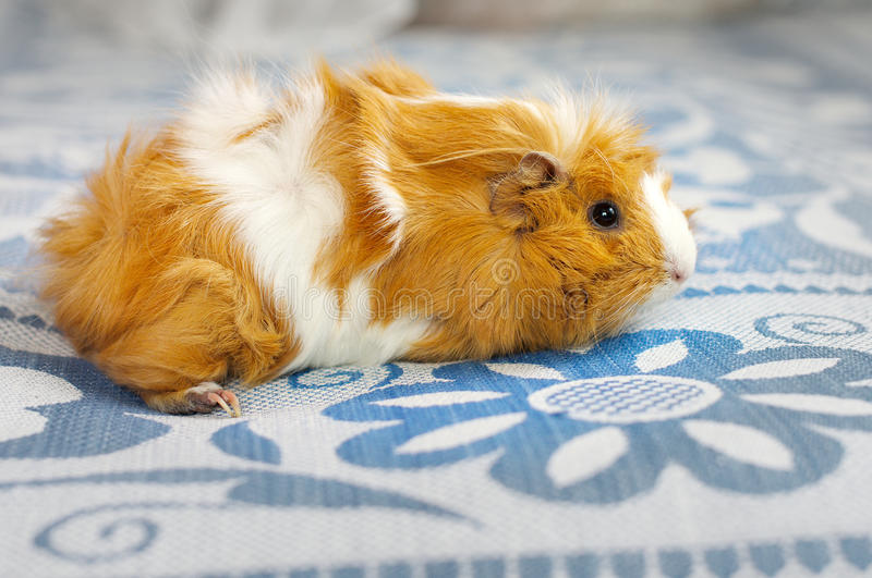 Guinea pig at home royalty free stock photo
