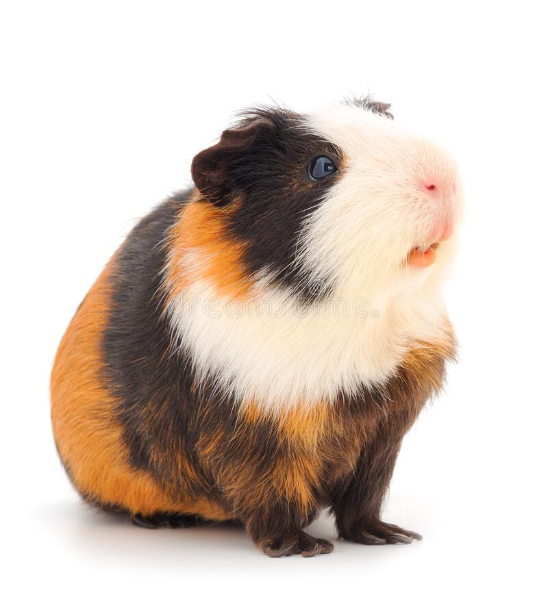 Free Guinea Pig Isolated Stock Images - 189819004