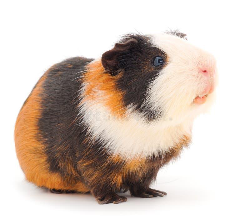 Free Guinea Pig Isolated Stock Photo - 193128640