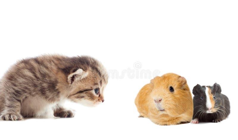Guinea pig and kitty. A guinea pig and kitty stock image