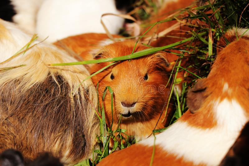 A guinea pig looking to camera. He has very strict look as some boss. He playing on some important but he is only brown guinea pig.  royalty free stock photo