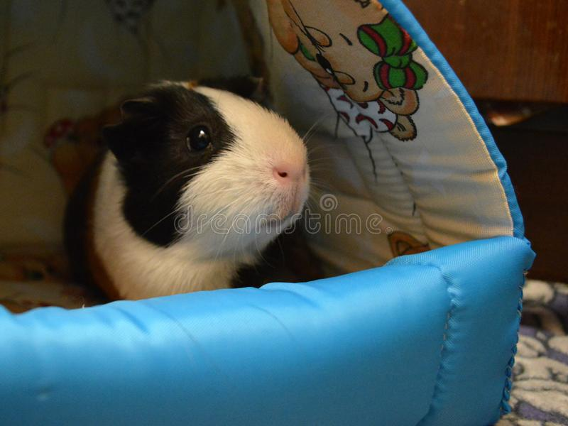 Guinea pig in the lounger stock images