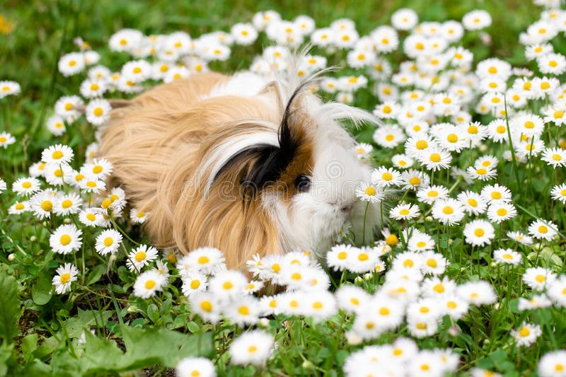 Guinea pig in the meadow. Guinea pig on the grass with daisies royalty free stock images