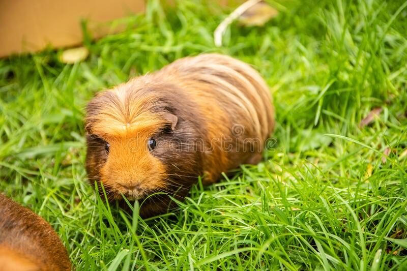 Guinea pig on natural background royalty free stock photos