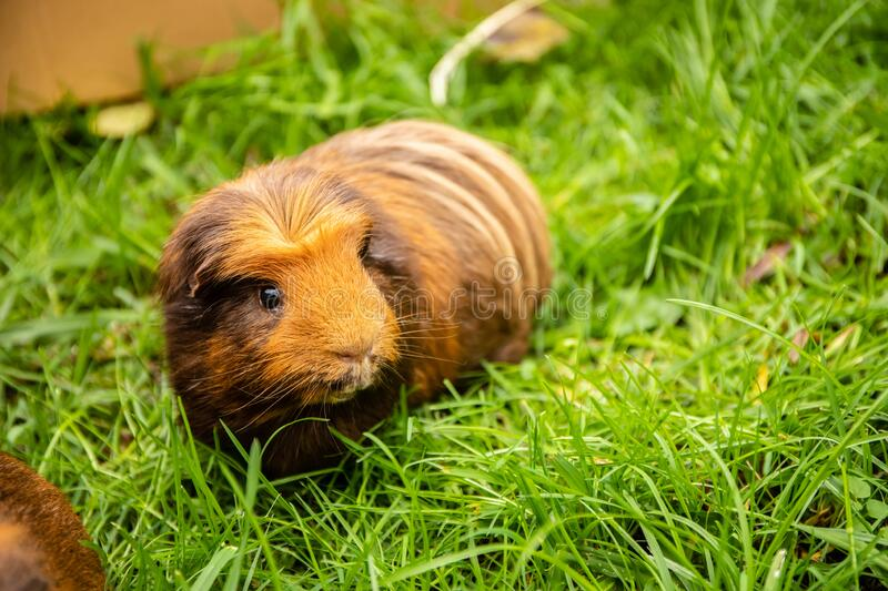 Guinea pig on natural background royalty free stock image
