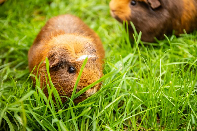 Guinea pig on natural background royalty free stock photography