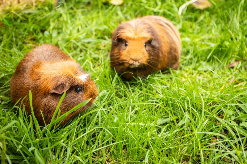Guinea pig on natural background stock photography