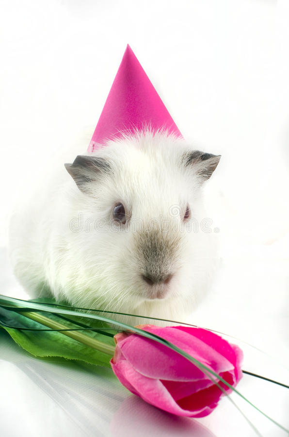 Download Guinea pig near tulip stock image. Image of up, rodent - 26841635