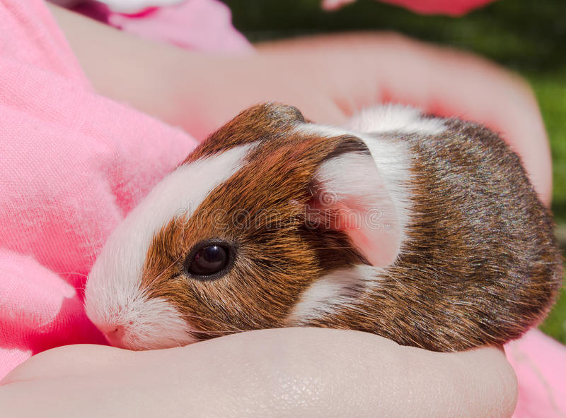 Guinea pig newborn sitting on hands. Cavy is a popular household pet stock image