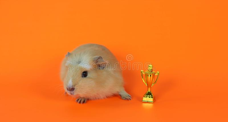 Guinea pig on a orange background with the cup stock image