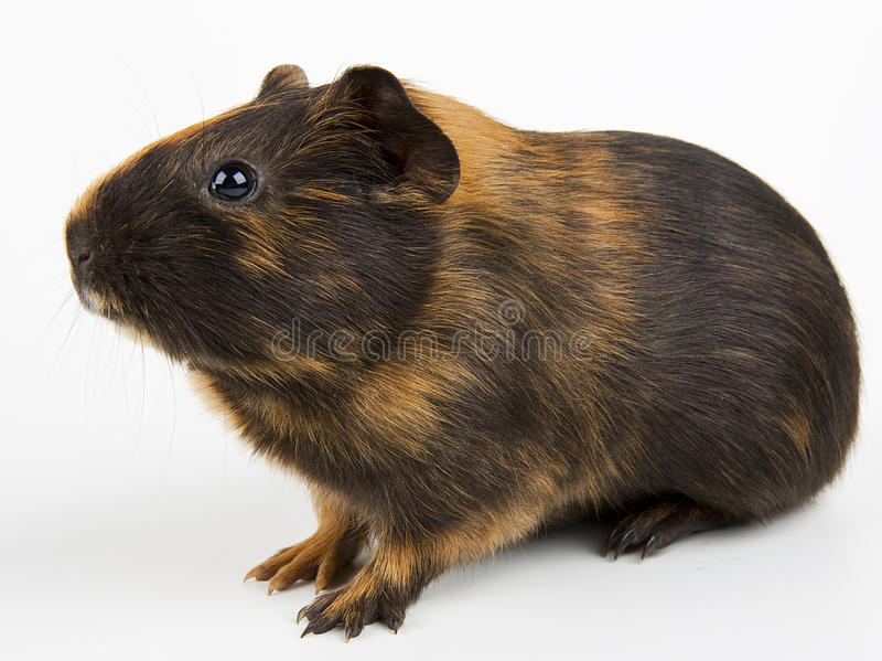 Download Guinea pig over white stock image. Image of cute, life - 23363541