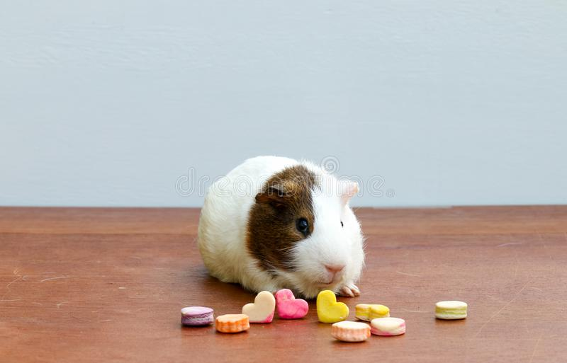 Guinea pig. A popular of household pet. Guinea pig and snack animal on the table stock photo