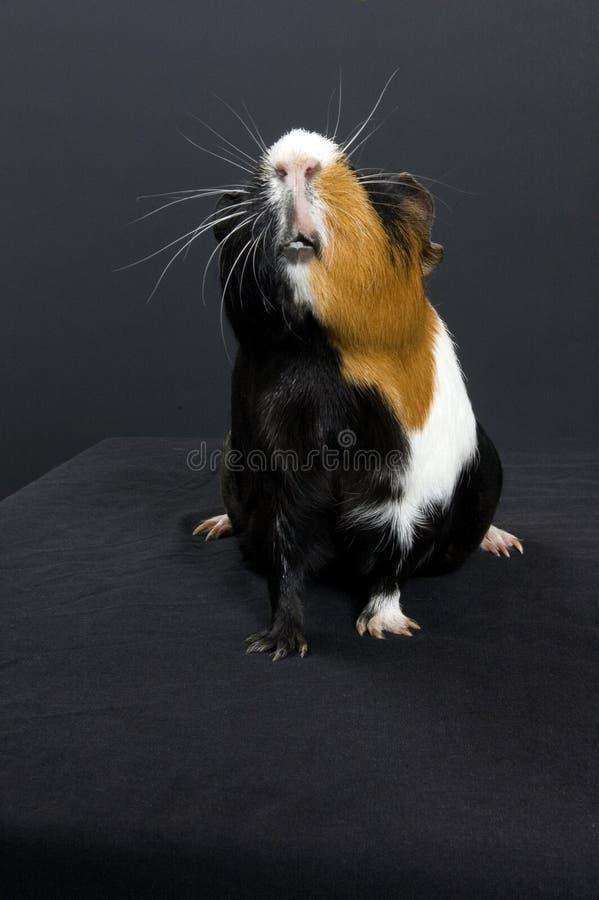 Guinea pig portrait stock photos