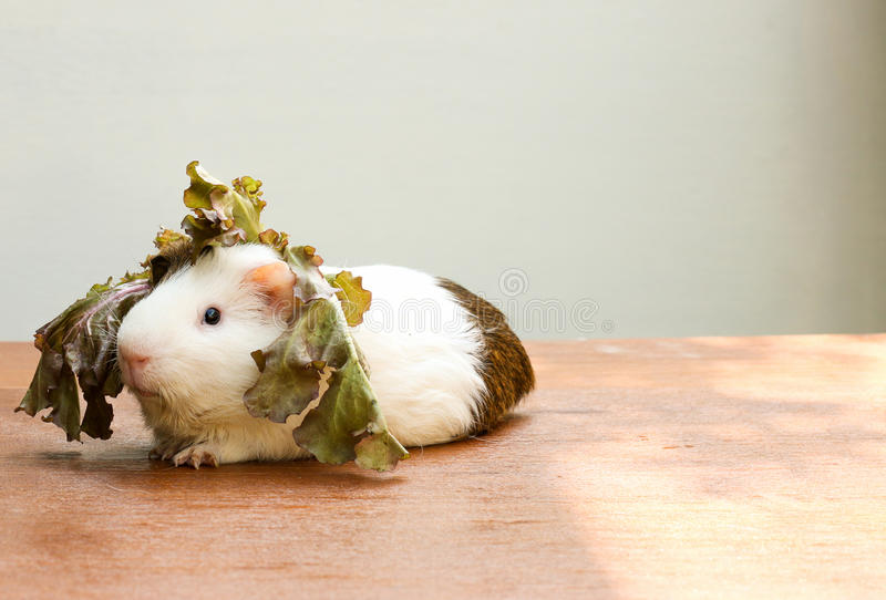 Guinea pig put the lettuce on her head and sitting on the desk. Guinea pig put the lettuce on her head and sitting on the desk, A popular household pet stock photo