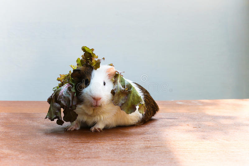 Guinea pig put the lettuce on her head and sitting on the desk. Guinea pig put the lettuce on her head and sitting on the desk, A popular household pet stock photography