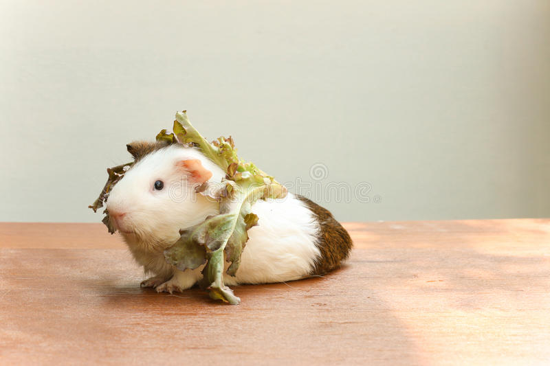 Guinea pig put the lettuce on her head and sitting on the desk. Guinea pig put the lettuce on her head and sitting on the desk, A popular household pet stock image