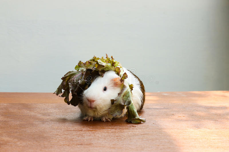 Guinea pig put the lettuce on her head and sitting on the desk. Guinea pig put the lettuce on her head and sitting on the desk, A popular household pet royalty free stock photos