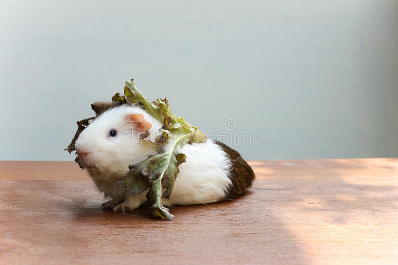 Guinea pig put the lettuce on her head and sitting on the desk. Guinea pig put the lettuce on her head and sitting on the desk, A popular household pet royalty free stock photo