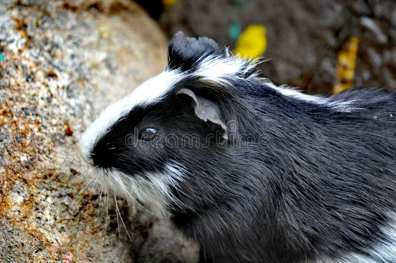 A guinea pig in Qingdao, China royalty free stock photography