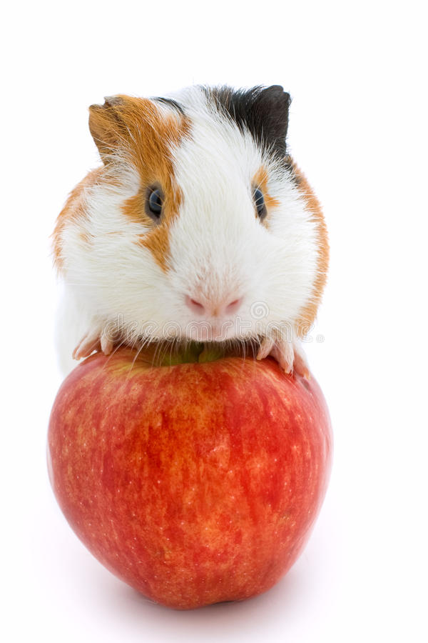 Download Guinea pig and red apple stock photo. Image of claws - 21549632