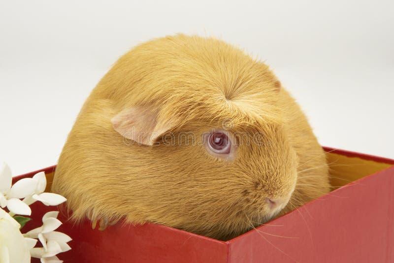 Guinea Pig In Red Box
