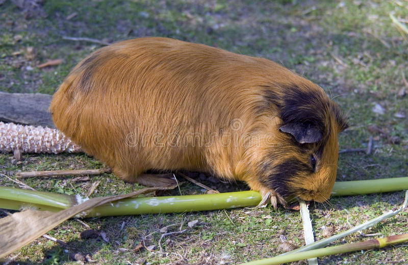 Guinea pig is a rodent mammal Guinea quévy. Wool mustache Peru Incas meat idol royalty free stock images