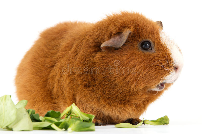 Download Guinea pig with salad stock photo. Image of tame, brown - 22681256