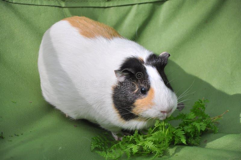 6587 guinea pig shoulder 库存照片