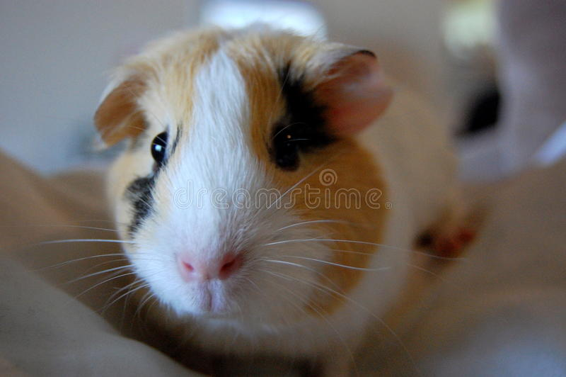 6587 guinea pig shoulder 库存图片