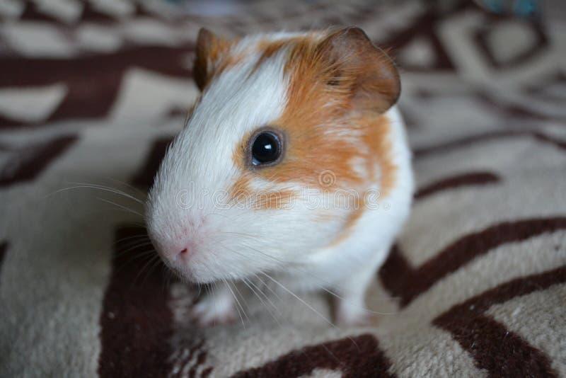 6587 guinea pig shoulder 图库摄影