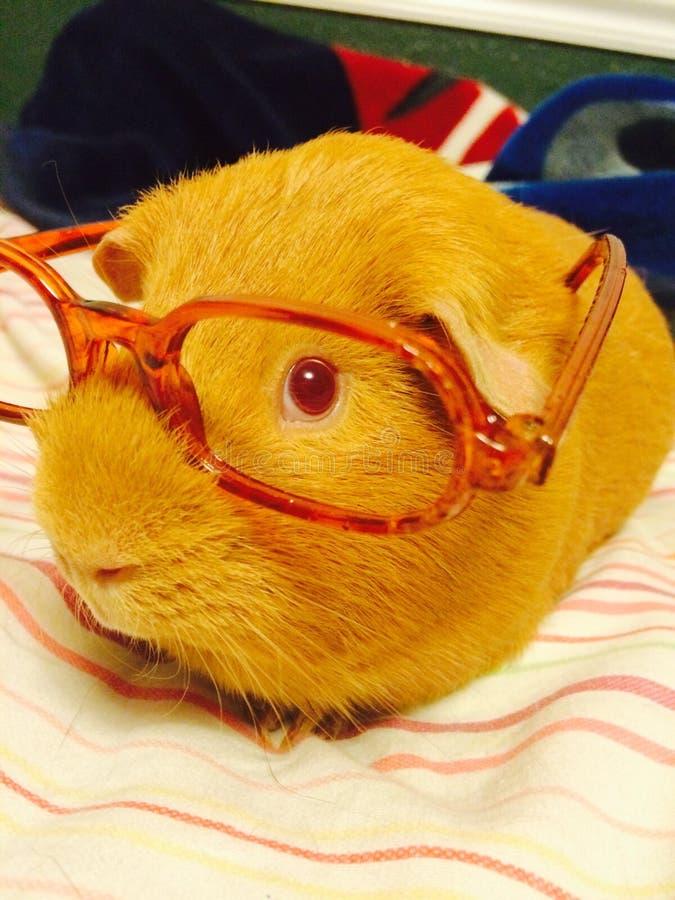 6587 guinea pig shoulder στοκ φωτογραφία με δικαίωμα ελεύθερης χρήσης