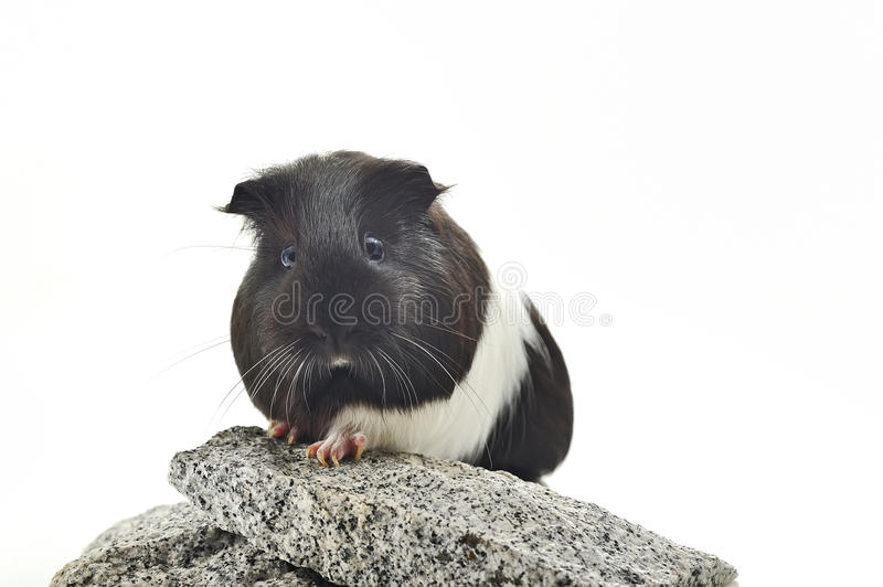 Guinea pig sit on stone stock photography