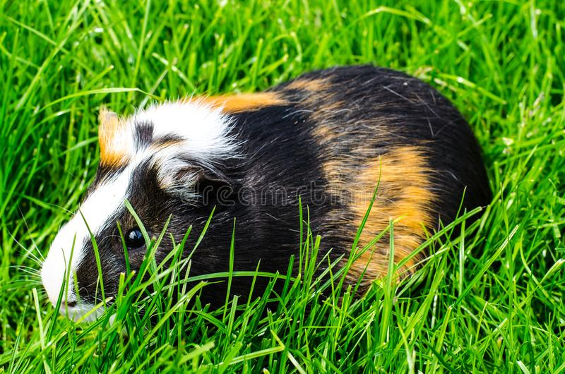 Guinea pig sits on grass stock photo