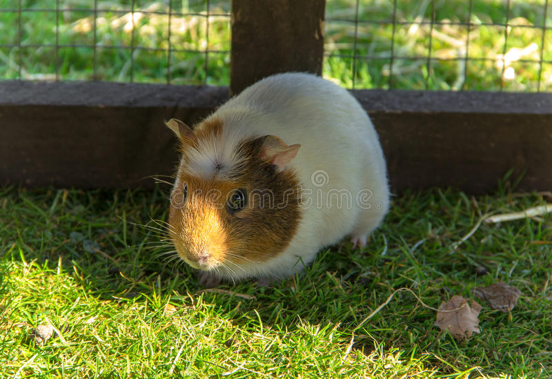 Guinea pig sitting in a cage. Cavy is a popular household pet stock images