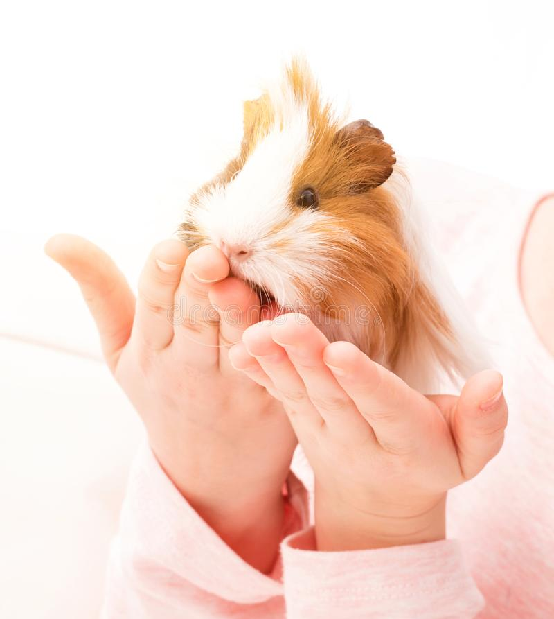 Guinea pig on small child`s hand stock photo