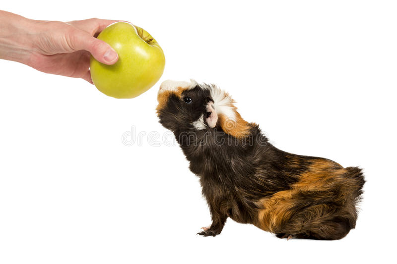 Guinea pig sniffing an apple. Hand of man holds out a green apple guinea pig isolated on a white background stock photography
