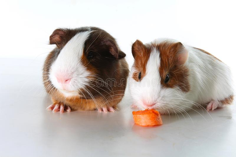 Guinea pig on studio white background. Isolated white pet photo. Sheltie peruvian pigs with symmetric pattern. Domestic guinea pig royalty free stock photography