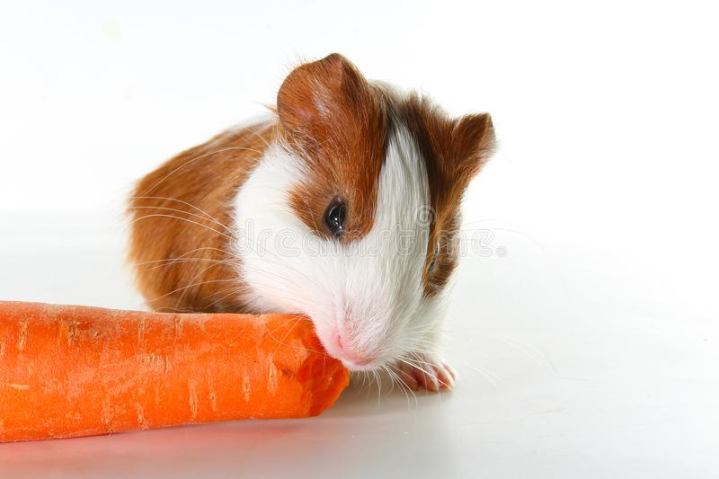 Guinea pig on studio white background. Isolated white pet photo. Sheltie peruvian pigs with symmetric pattern. Domestic guinea pig stock images