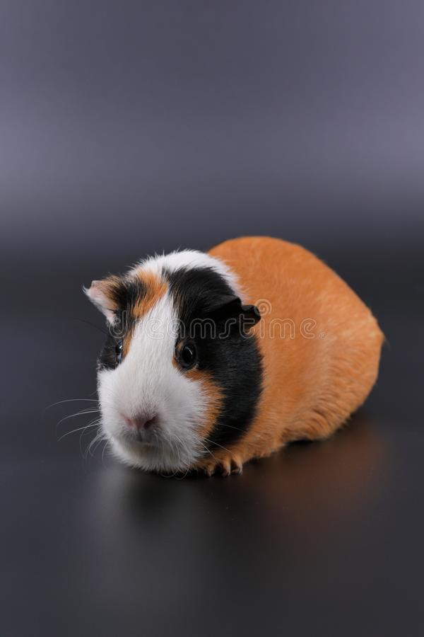 Guinea pig usual three-colored on a dark and white background. royalty free stock photo